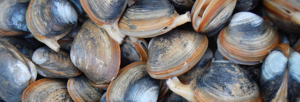 pile of clams